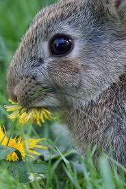 konijn-eet-paardenbloem